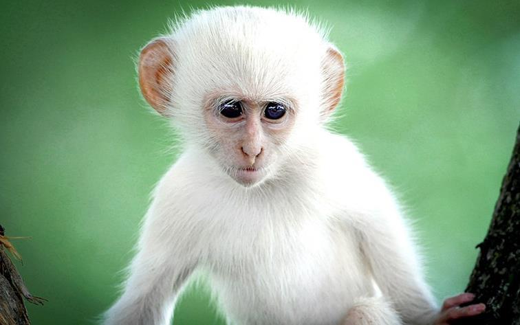 20-белая обезьяна