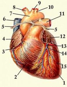 47-сердце