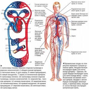49-кровеносная система