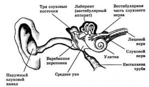 93-слух и равновесие