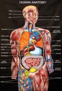 02-1-анатомия