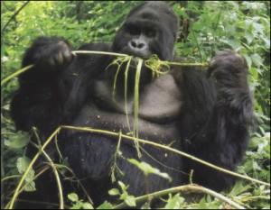 15-горилла