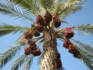 21-финиковая пальма